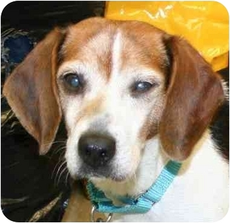 Beagle/Basset Hound Mix Dog for adoption in Berea, Ohio - Captain