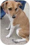 Sheltie, Shetland Sheepdog/Beagle Mix Puppy for adoption in Plainfield, Illinois - Gigi