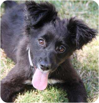Border Collie/Spaniel (Unknown Type) Mix Dog for adoption in San Pedro, California - Iggy