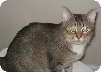 Domestic Shorthair Cat for adoption in Jacksonville, North Carolina - Lola