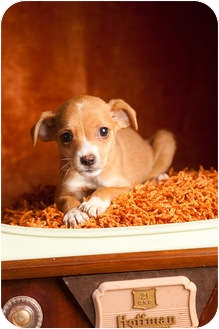 Chihuahua Mix Puppy for adoption in Portland, Oregon - Tot