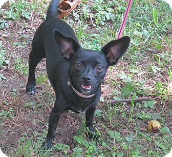 Chihuahua Mix Dog for adoption in Harrisonburg, Virginia - Seraphina