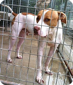 Great Dane/Boxer Mix Dog for adoption in Lebanon, Maine - Thompson-URGENT in GA