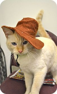 Domestic Mediumhair Cat for adoption in Corpus Christi, Texas - Goliath