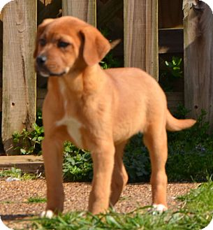 Labrador Retriever Mix Puppy for adoption in Spring Valley, New York - Sandi