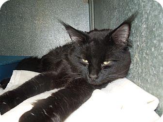Domestic Mediumhair Cat for adoption in Medina, Ohio - King David