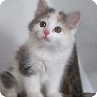 Calico Kitten for adoption in Columbia, Illinois - Elise