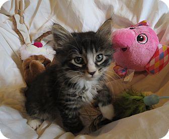 Domestic Longhair Kitten for adoption in Geneseo, Illinois - Brooke