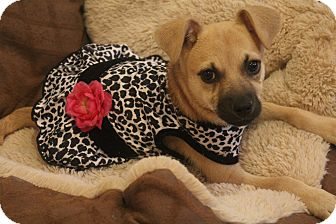 Chihuahua/Pug Mix Puppy for adoption in Hamburg, Pennsylvania - Tinker Belle