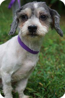 Havanese/Maltese Mix Dog for adoption in Newark, Delaware - Leigh