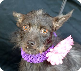 Terrier (Unknown Type, Small) Mix Dog for adoption in Plano, Texas - Triscuit