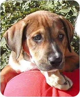 Labrador Retriever/German Shepherd Dog Mix Puppy for adoption in El Segundo, California - Lu