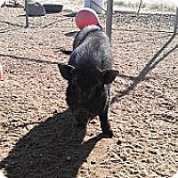 Pig (Potbellied) for adoption in Phelan, California - PIg girl and boy