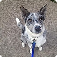 Adopt A Pet :: Boo - Dallas, TX