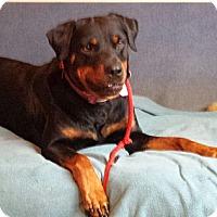 Adopt A Pet :: Amber - Frederick, PA