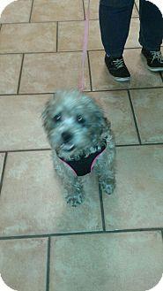 Schnauzer (Miniature)/Poodle (Miniature) Mix Dog for adoption in Higley, Arizona - GONZO