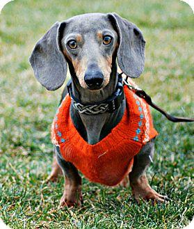Dachshund Dog for adoption in Delano, Minnesota - Stretch
