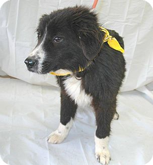 Border Collie Mix Puppy for adoption in Mantua, New Jersey - Lobo