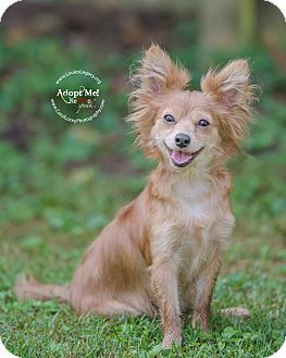 Papillon/Chihuahua Mix Dog for adoption in Cincinnati, Ohio - Trixie
