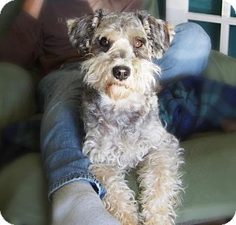 Standard Schnauzer/Poodle (Miniature) Mix Dog for adoption in London, Ontario - Bailey
