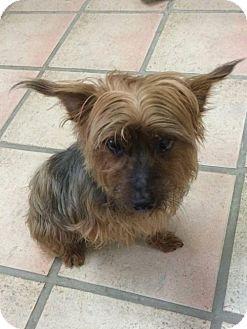 Yorkie, Yorkshire Terrier Dog for adoption in Newburgh, Indiana - Murphy