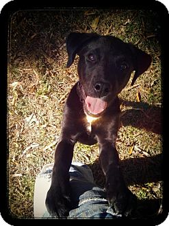Labrador Retriever/Hound (Unknown Type) Mix Puppy for adoption in Point Pleasant, Pennsylvania - WEEGEE-PENDING ADOPTION
