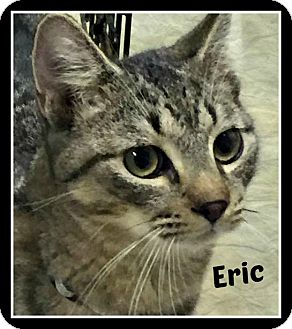 Domestic Shorthair Cat for adoption in Ocean Springs, Mississippi - Eric