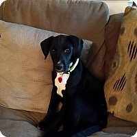 Adopt A Pet :: Heath - PENDING, in Maine - kennebunkport, ME