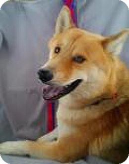 Shiba Inu/Affenpinscher Mix Dog for adoption in New Smyrna Beach, Florida - Benji