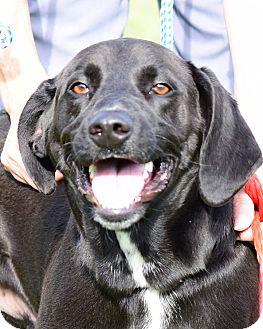 Labrador Retriever/Hound (Unknown Type) Mix Puppy for adoption in Deer Park, New York - Elijah