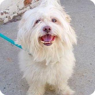 Lhasa Apso Dog for adoption in Ridgefield, Connecticut - Simba a/k/a Ravioli