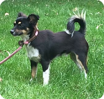 Chihuahua Mix Dog for adoption in Bedminster, New Jersey - Edison