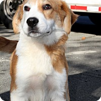 Adopt A Pet :: Bernard - Norwalk, CT