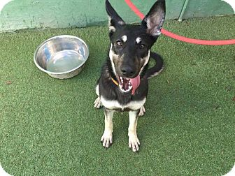 German Shepherd Dog Dog for adoption in Cape Coral, Florida - Holly