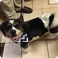 Adopt A Pet :: Molly  meet me 1/20 - Manchester, CT