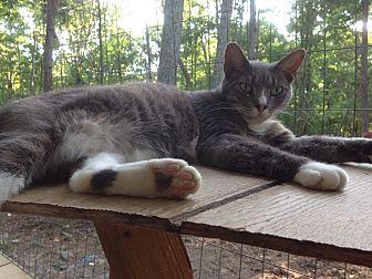 American Shorthair Cat for adoption in Charlotte, North Carolina - Ziggy