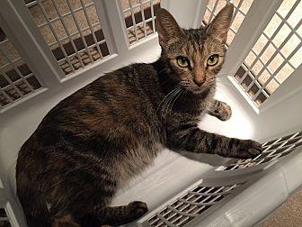 Domestic Shorthair Cat for adoption in Cambridge, Ontario - EV