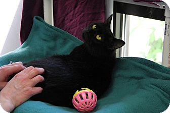 Domestic Shorthair Cat for adoption in Greensboro, North Carolina - Tux