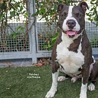 Adopt A Pet :: PATCHES - Los Angeles, CA