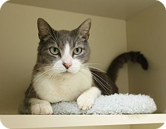 Domestic Shorthair Cat for adoption in Germantown, Tennessee - Van Gogh