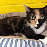 Domestic Mediumhair Cat for adoption in Easton, Maryland - SOPHIE