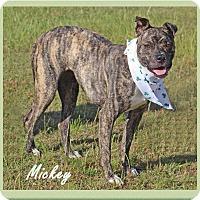 Boxer Mix Dog for adoption in Hillsboro, Texas - Micki