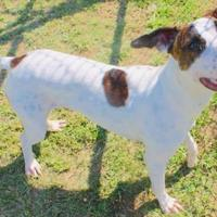 Adopt A Pet :: Taz - Tuscaloosa, AL