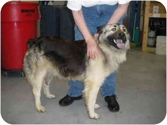 "Australian Shepherd/Husky Mix Dog for adoption in MARION, Virginia - ""Marley"""