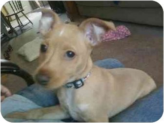 Miniature Pinscher Mix Puppy for adoption in Warsaw, Indiana - Ray Ray