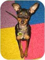 Miniature Pinscher Puppy for adoption in Syracuse, New York - Buzz