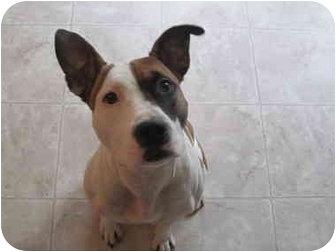 American Pit Bull Terrier Dog for adoption in Medicine Hat, Alberta - Kees
