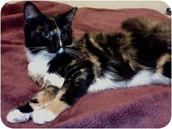 Domestic Mediumhair Kitten for adoption in Elverta, California - Darla