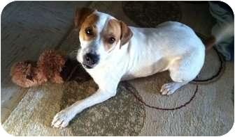 Beagle Mix Dog for adoption in Haughton, Louisiana - Dutch