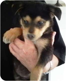 Husky/Shepherd (Unknown Type) Mix Puppy for adoption in Nuevo, California - Shane